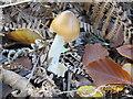 SU9586 : Tawny grisette fungus (Amanita fulva) in Egypt Woods by David Hawgood