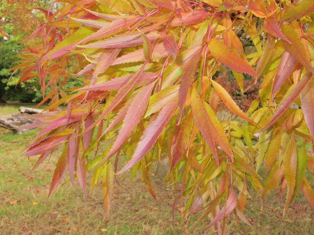 Gunnersbury Park autumn leaves, claret ash