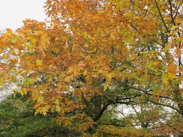 Gunnersbury Park, autumn leaves of turkey oak