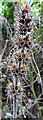NJ9856 : Common Hemp-nettle (Galeopsis tetrahit) by Anne Burgess