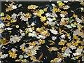 SO7745 : Autumn leaves in Swan Pool by Philip Halling