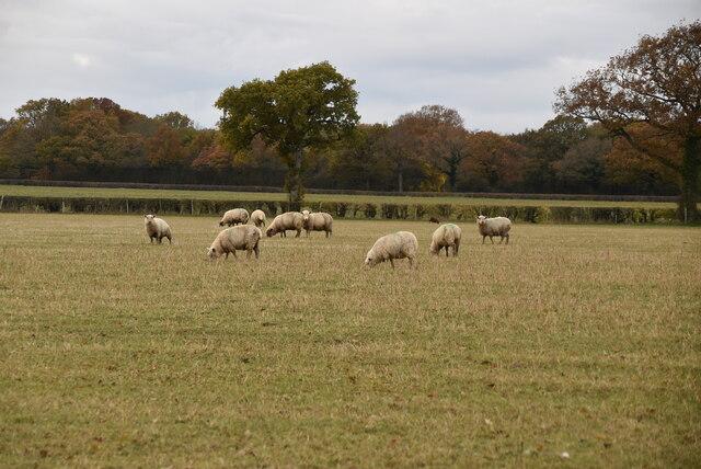Sheep grazing by N Chadwick