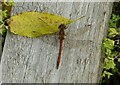 SK6840 : Common Darter by Alan Murray-Rust