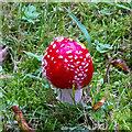 TQ5793 : Fly agaric mushroom, St Peter's Churchyard, South Weald by Roger Jones