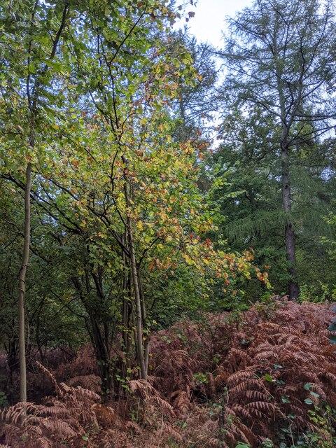 Autumnal Hazel