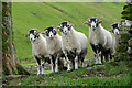 SD9695 : Inquisitive Swaledales by Andy Waddington