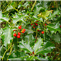 TQ5990 : Holly in Warley Gap by Roger Jones