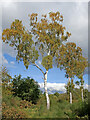 SO8074 : Birch trees near Devil's Spittleful in Worcestershire by Roger  Kidd