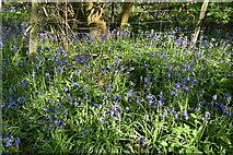 TQ6244 : Bluebells by N Chadwick