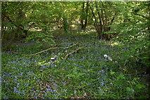 TQ6243 : Bluebells, Crabtree Wood by N Chadwick