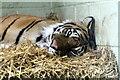 SH8378 : Sumatran tiger by Richard Hoare