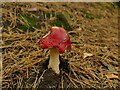 SE1840 : Fly agaric  in Spring Wood by Stephen Craven