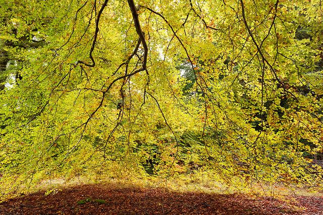 Curtain of beech leaves, Drummondreach Oak Wood SSSI