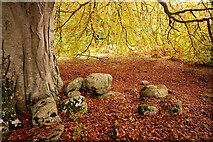 NH5757 : Under a very large beech tree, Drummondreach Oak Wood by Julian Paren