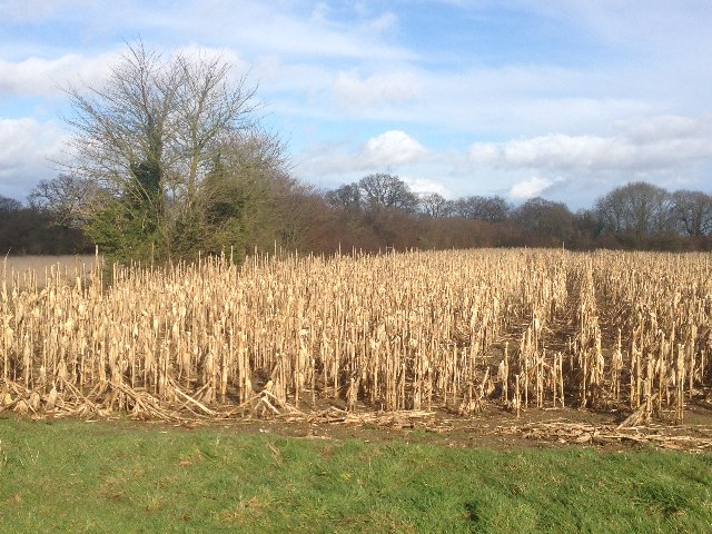 Old maize crop - Danny Field (26 acres) by Sandy B