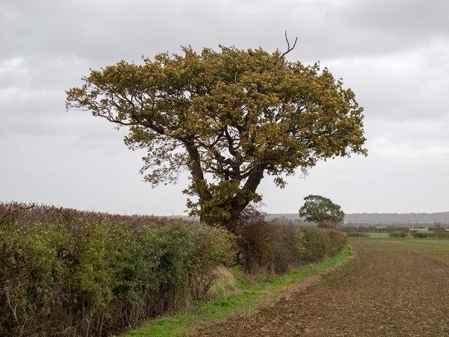 Tree on field boundary, near Tillingham Hall, West Horndon