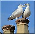 SS4685 : Port Eynon - Seagulls by Colin Smith