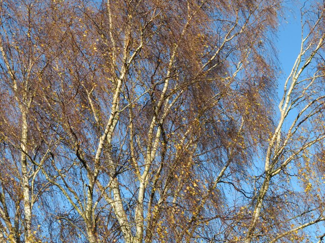 Birch branches catching the sun