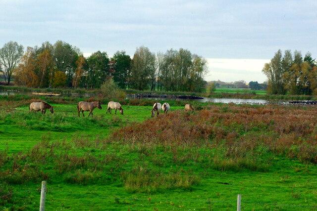 Konik horses, Kingfishers Bridge