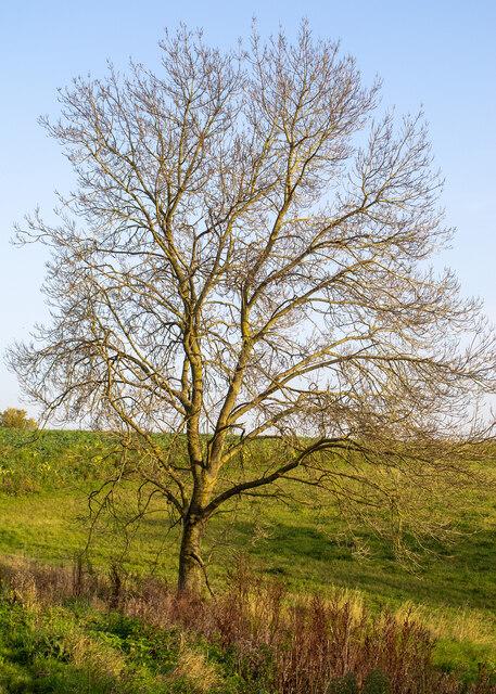 Winter tree near Childerditch Church
