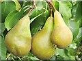 TQ0657 : Wisley - Trio of Pears by Colin Smith