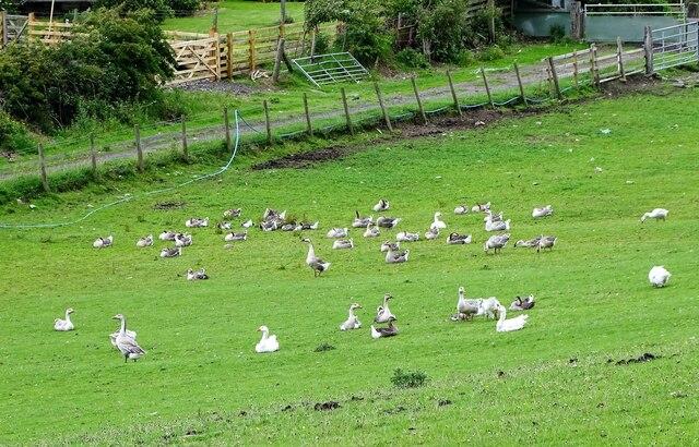 Farmyard geese at Spring Well