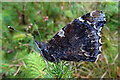 NJ4563 : Red Admiral Butterfly (Vanessa atalanta) by Anne Burgess