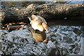 TQ3094 : Egyptian Goose, Grovelands Park by Christine Matthews