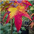 SO6023 : Liquidambar leaves by Jonathan Billinger