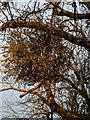 TF0820 : Sickly Mistletoe by Bob Harvey