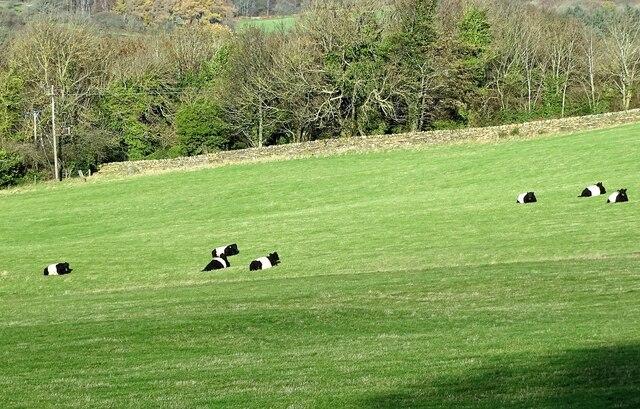Cattle beside the Derwent Walk