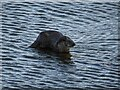 SO8540 : An otter in the River Severn by Philip Halling