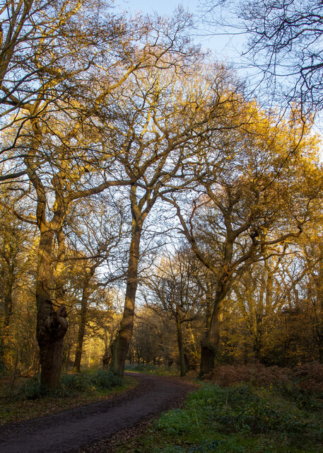 Sunlight in the treetops, Ludgate Plain, Epping Forest