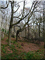 SE1223 : Oak and birch trees in Cromwell Wood, Southowram by Humphrey Bolton