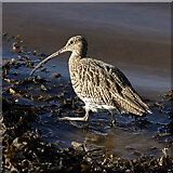 NT9953 : A curlew (Numenius arquata) by Walter Baxter
