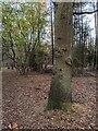 TF0720 : Tree trunk by Bob Harvey