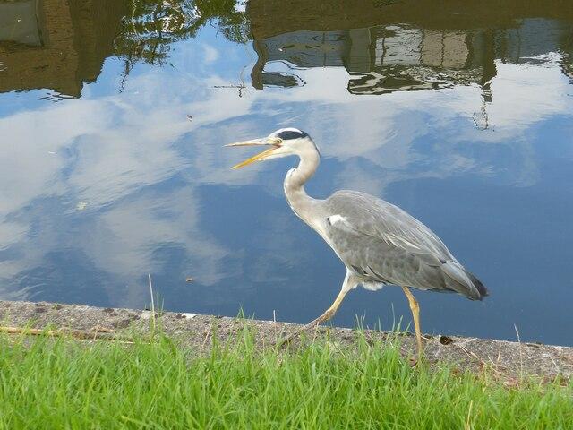 Heron beside the River Cam, Cambridge