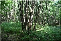 TQ4048 : Coppicing, Great Earls Wood by N Chadwick