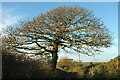 SX8855 : Tree, Combe Lane by Derek Harper
