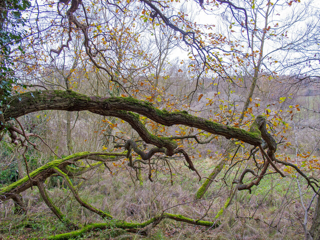 Winter Branch on Ancient Tree, Arger Fen
