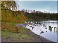 SD7406 : Swans and Geese at Crompton Lodges by David Dixon