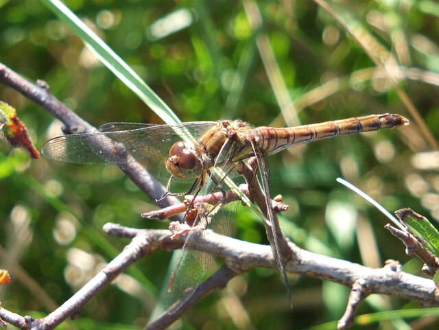 Dragonfly by stream at Church Cove, Cornwall