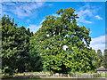 ST2885 : Sweet Chestnut tree, Tredegar Park Country Park (2) by Robin Drayton