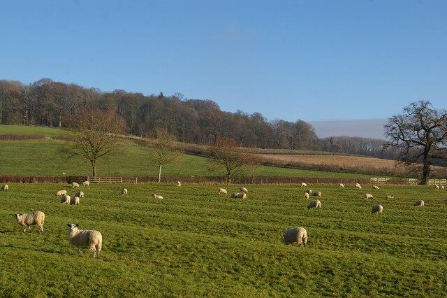Open sheep grazing north of Cottesbrooke