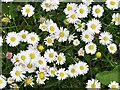 TQ0051 : Stoke Park North - Daisies by Colin Smith