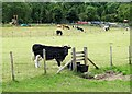 NZ0749 : Cows at Castleside by Robert Graham