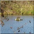 SK6143 : Ducks on a platform by Alan Murray-Rust