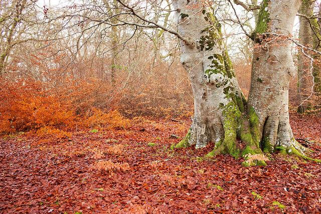 Regenerating beech in Drummondreach Oak Wood