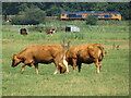 TG4001 : Reedham Ferry - Cattle Grazing by Colin Smith