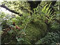 SY3797 : Moss and ferns covering a branch by David Lally